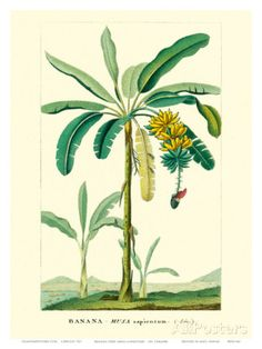 Banana Tree, Botanical Illustration, c.1855 Prints by Ch. Lemaire at AllPosters.com