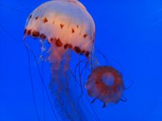 jellyfish. i think this is cool looks like it has hearts on it