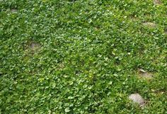 For sunny spots, consider Kidney Weed (Dichondra micrantha). It thrives in warmer climates (zones 8-10), spreads easily and grows to 1 or 2 ...
