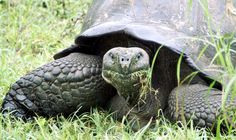 Giant tortoises have a sweet tooth for invasive plants