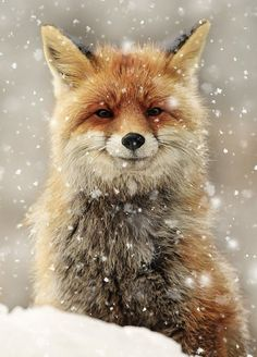 500 Piece Jigsaw Puzzle (other products available) - Red Fox in snow smiling Aosta, Italy - Image supplied by Ardea Wildlife Pets Environment - 500 Piece Jigsaw Puzzle made in Australia Cute Baby Animals, Animals And Pets, Animals In Snow, Cute Animals Images, Fox Images, Beautiful Creatures, Animals Beautiful, Fox In Snow, Folk Rock