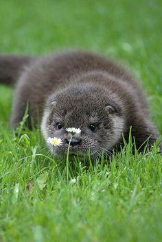 En exploration. Cette adorable loutre semble être particulièrement intriguée par cette   marguerite.