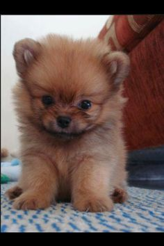 Brown short haired pomeranian!