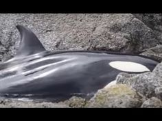 How Diligent Volunteers Kept a Beached Young Orca Alive Until the Tide Returned Eight Hours Later