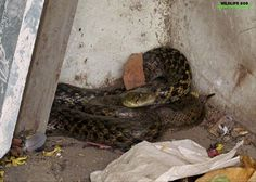 The #WildlifeSOS Rapid response unit rescued a #CheckeredKeelback which had wandered into a residential complex in Vasant Kunj, Delhi. The snake was found to be healthy and has been released back into the wild. If you come across any wild reptile in distress in Delhi NCT, please call the Wildlife SOS #Helpline Mobile 9871963535.