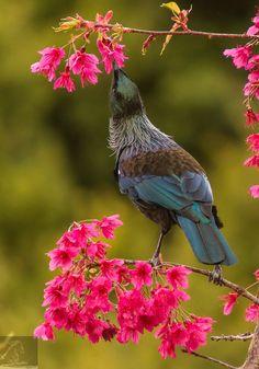 Tui is an endemic passerine bird of New Zealand - by Kurien Yohannan Small Birds, Colorful Birds, Pet Birds, Tui Bird, Kiwiana, Funny Birds, Bird Pictures, Birds Eye View, Wild Birds