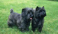 Beautiful Cairn Terriers