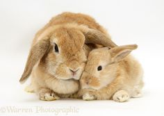 Sandy Lop doe rabbit and baby photo