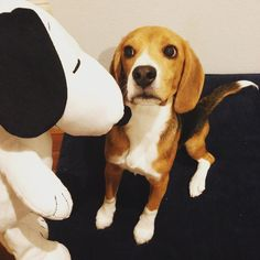 This cute beagle looks suspicious of Snoopy!