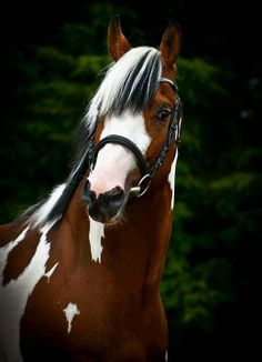Dutch Warmblood stallion Solaris Buenno, this stallion is gorgeous