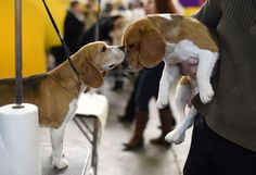 Break a paw! Two adorable Beagles shared a moment backstage during the 1st day of competition -- perhaps wishing each other good luck ahead of the show?