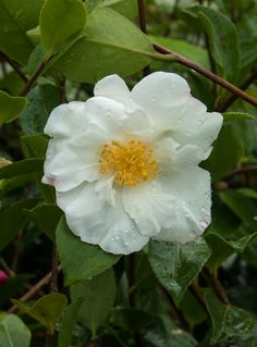Camellia 'Kenkyo' (sasanqua), one of my favourite varieties. Large white flowers with a hint of pink and an excellent scent. Loves to flower freely! Camellia, Large White, White Flowers, Autumn, My Favorite Things, Garden, Plants, Pink, Flowers