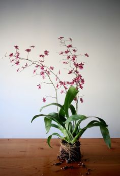 Hanging Orchid DIY | Gardenista.....Sharry Baby (has smell)