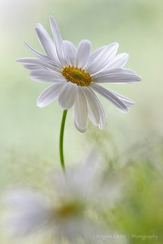gorgeous daisy photo by Brigitte Lorenz