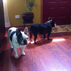 Love my Frenchies...Let's go out...we're waiting!!