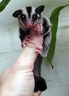 "Someday we may have to get a sugar glider. So cute and easy to care for from what we've heard. But not sure how I feel about an ""exotic"" pet. Need to research more."