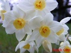 Nergis Çiçeği ve Nergis Çiçeğinin Yararları