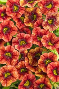 Proven Winners - Superbells® Spicy - Calibrachoa hybrid orange plant details, information and resources. Very Beautiful Flowers, Exotic Flowers, Orange Flowers, Landscaping Plants, Garden Plants, Landscaping Ideas, Backyard Ideas, Vegetable Garden, Garden Ideas