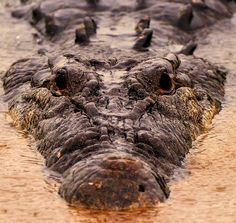 """Saltwater Crocodile Approaches """"Photo and caption byLawrence Smith A saltwater crocodile approaches our zodiac as we cruised down a river in Darwin Australia. Looking for food? Checking us out? Location:Dawrin Australia"""""""