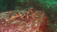 Aggressor Fleet Captains Logs  Red-lipped batfish that our guests encountered on the June 13 − 20, 2013 trip.