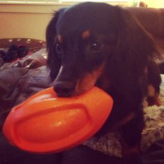 Loves his squeaky toys