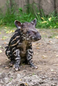 An incredibly cute…and incredibly stripy South American Tapir calf was born, May 19, at Prague Zoo. The little male is the offspring of 15-year-old 'Ivana' and 12-year-old 'Tex'. Check out ZooBorns for more pics and info! http://www.zooborns.com/zooborns/2015/05/prague-zoo-celebrates-newest-tapir-calf.html