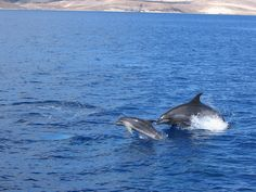 Dolphin with calf with its mother by oceana.org, via Flickr