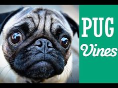 Funny Pug Vines Compilation MAY 2014 - http://www.doggietalent.com/2014/12/funny-pug-vines-compilation-may-2014/