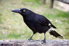 currawong bird