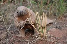 Chinese obsession (in their medicine) for the Pangolin scales has made this critically endangered species Large Animals, Cute Baby Animals, Unique Animals, Wild Animals, Beast, Pose For The Camera, Cute Animal Videos, Animales, Frogs