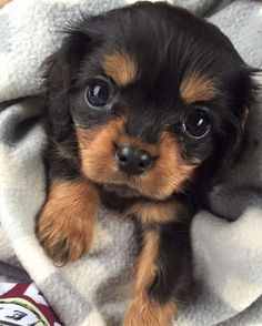 Cute Dogs And Puppies King Charles Baby Animals Super Cute, Super Cute Puppies, Cute Little Puppies, Cute Little Animals, Cute Dogs And Puppies, Cute Funny Animals, Baby Dogs, Doggies, Tiny Puppies