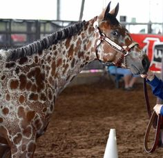 Image result for peacock appaloosa