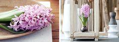 Flower Export News Item Hyancinth