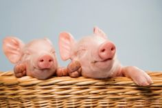 These newborn piglets already feel the funny side of wicker basket. Curated by your friends at  https://createamixer.com/