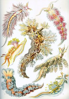 A free Ernst Haeckel Nudibranchia sea slug illustration from the late From the book 'Art Forms in Nature', published between 1899 and Now in the public domain! Poster Download, Ernst Haeckel Art, Natural Form Art, Bio Art, Life Poster, Print Poster, Sea Slug, Nature Drawing, Oldies But Goodies