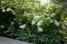 varigated hosta with lace cap hydrangea
