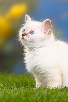 Kittens, Cats, Animals, Cute Kittens, Gatos, Animales, Animaux, Kitty Cats, Animal