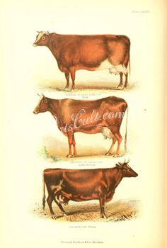 Durham or short horn cow, Alderney or Jersey Cow, Ayrshire Cow      ...
