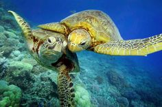 Turtle-y awesome dude: Giants of the deep blue sea show all's well beneath the waves with a magical underwater high-five Green Turtle, Turtle Love, Sea Turtle Pictures, Animals Beautiful, Cute Animals, Baby Turtles, Sea Turtles, Save Our Oceans, Tortoise Turtle