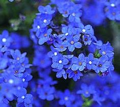 Anchusa capensis 'Blue Angel' BUGLOSS BLUE ANGEL FORGET ME NOT