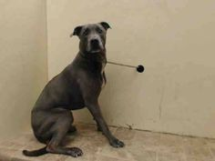 TO BE DESTROYED 7/19/14 Brooklyn Center   My name is ZERRO. My Animal ID # is A0724114. ***RETURNED 7/14/14***  I am a neutered male gray and white labrador retr mix. The shelter thinks I am about 7 YEARS old.  I came in the shelter as a OWNER SUR on 07/14/2014 from NY 11208, owner surrender reason stated was PERS PROB.