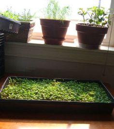 Growing Microgreens 101 - HOMEGROWN