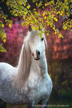 Gorgeous Dapple grey horse peeking through the trees with half a pink nose, half black, so pretty! Beautiful horse photography. Ysselvliedts Highflyer (sector A) photo: Alexia Khruscheva. Please also visit www.JustForYouPropheticArt.com for colorful inspirational art. Thank you so much! Blessings!