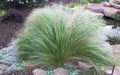Stipa Seeds - Mexican Feather Grass Uses Notes: This grass will beautify your garden all season. Maintenance Notes: Stipa is a neutral grass. Where temperatures get colder than 20 degrees F, the plants should be treated as annuals. Ornamental Grass Landscape, Landscape Curbing, Mexican Feather Grass, Perennial Grasses, Shade Perennials, Stipa, Privacy Plants, Buy Plants Online, Ideas