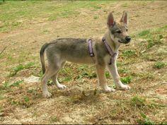 Chien - Czechoslovakian Wolfdog - Ralf on www.yummypets.com Dog, puppy, pooch, pets, animals, cute, pup, Yummypets