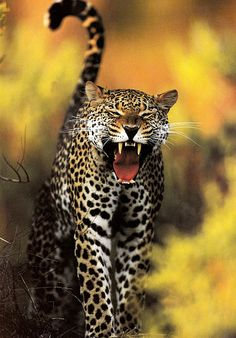 Inch Print - High quality print (other products available) - Leopard (Panthera pardus) female yawning, Samburu game reserve, Kenya - Image supplied by Nature Picture Library - Photo Print made in the USA Animals And Pets, Funny Animals, Cute Animals, Beautiful Cats, Animals Beautiful, Nature Pictures, Animal Pictures, Big Cats, Cats And Kittens