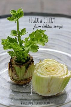 Regrowing Celery ~ how to  grow food from kitchen scraps. You can do the  same thing with roman lettuce