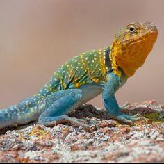 """Mountain Boomer"" Eastern Collared Lizard, Oklahoma's state reptile."