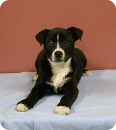 Chicago, IL - Border Collie/Boxer Mix. Meet Foxy a Puppy for Adoption.