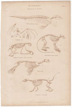 Hey, I found this really awesome Etsy listing at https://www.etsy.com/listing/208885106/1860-animal-skeletons-original-antique